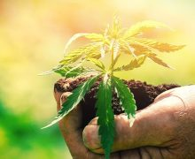 Five prominent reasons to grow cannabis from seeds